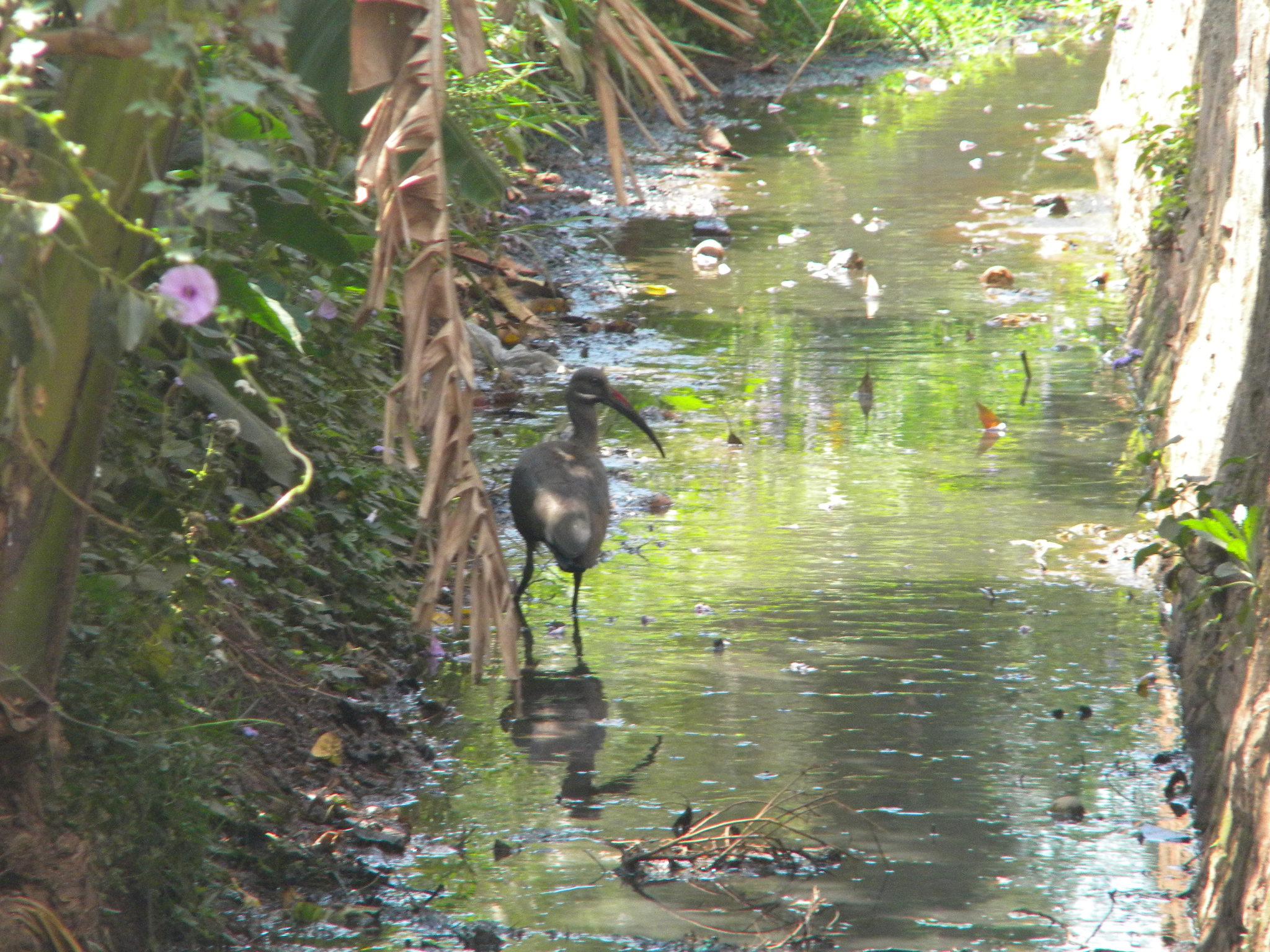Ibis dans les eaux usées de Djimma