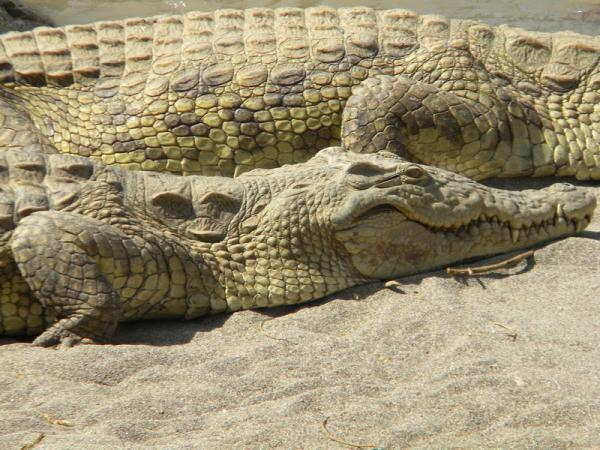 Crocodiles peu