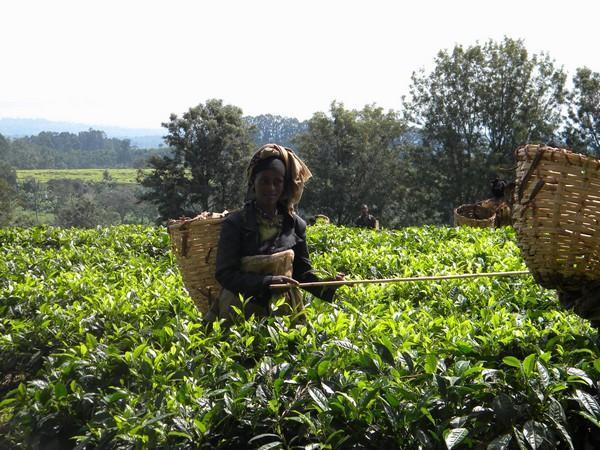 Dans une plantation de thé