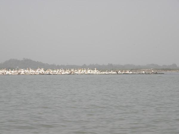 Lac Tana un banc de pélicans